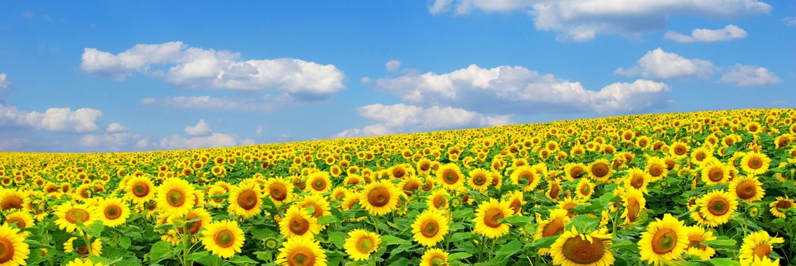 http://www.colleoli.com/wp-content/uploads/2014/06/Beautiful-golden-sunflower-wallpapers--1136x380.jpg